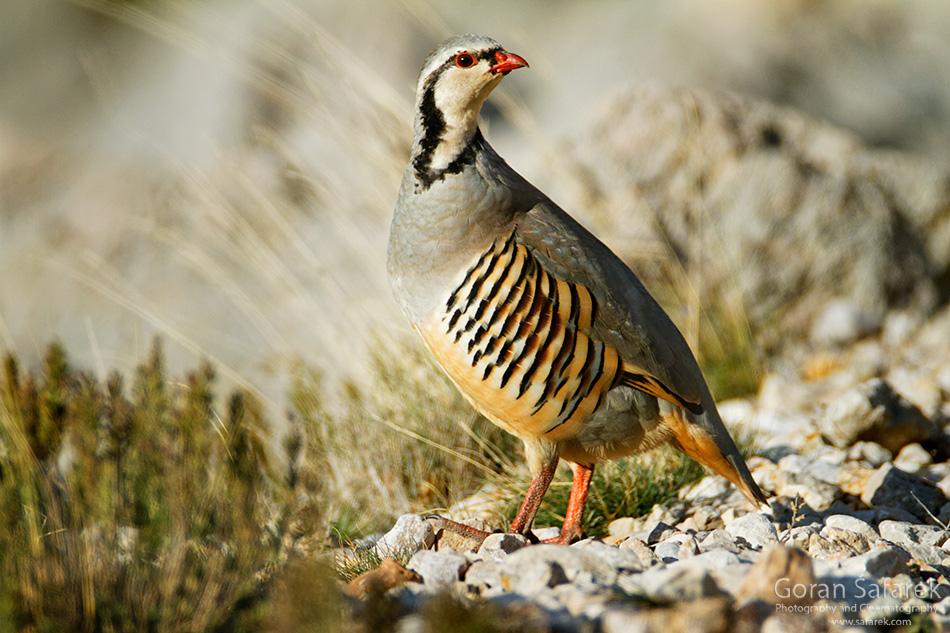 Jarebica kamenjarka, Alectoris graeca, ptice, ptica