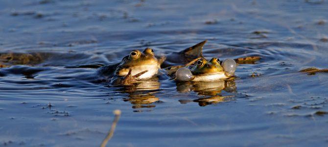 Zelene žabe