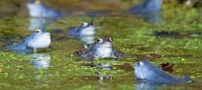 Močvarna smeđa žaba