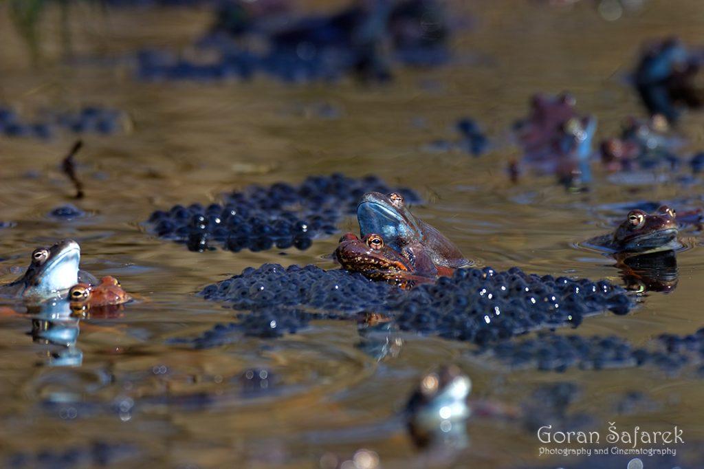 Močvarna smeđa žaba, Rana arvalis, žabe, žaba
