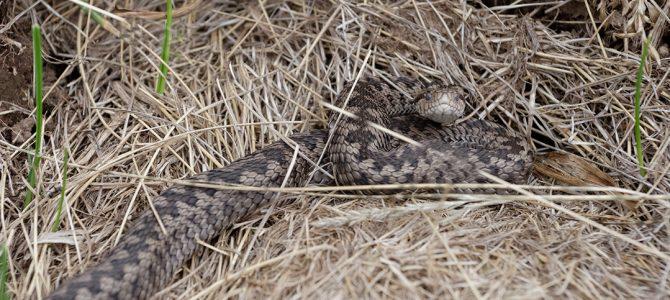 Žutokrug – naša najmanja zmija otrovnica