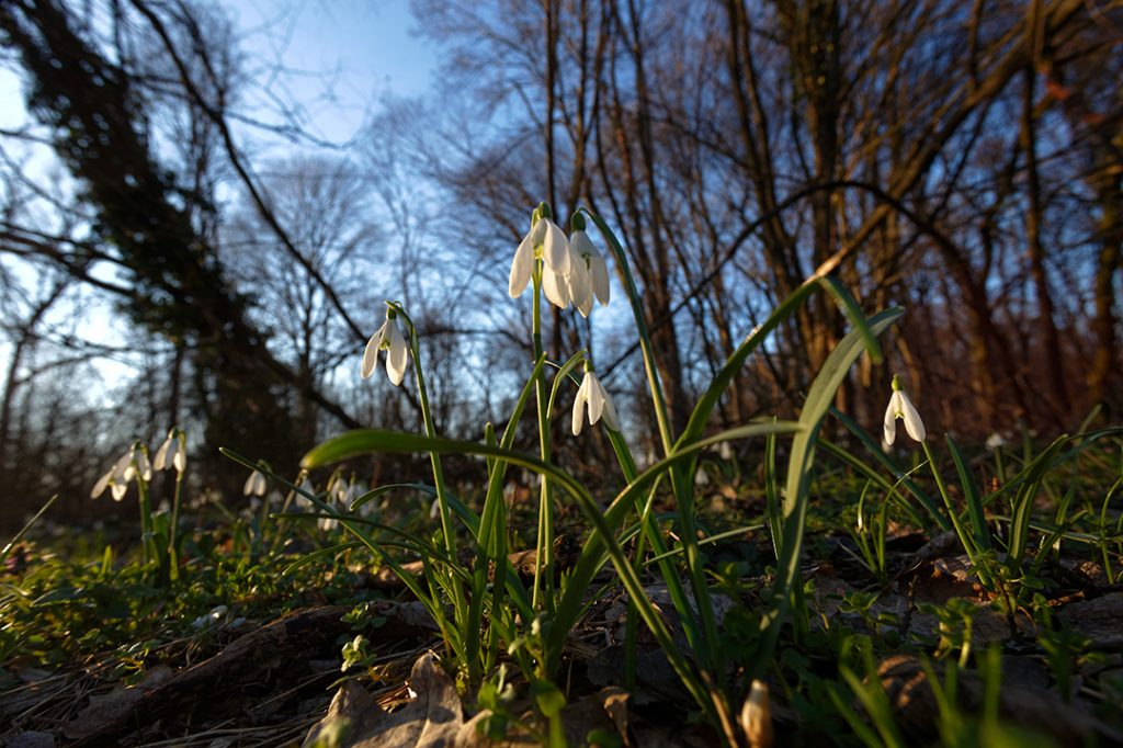 proljeće, visibaba