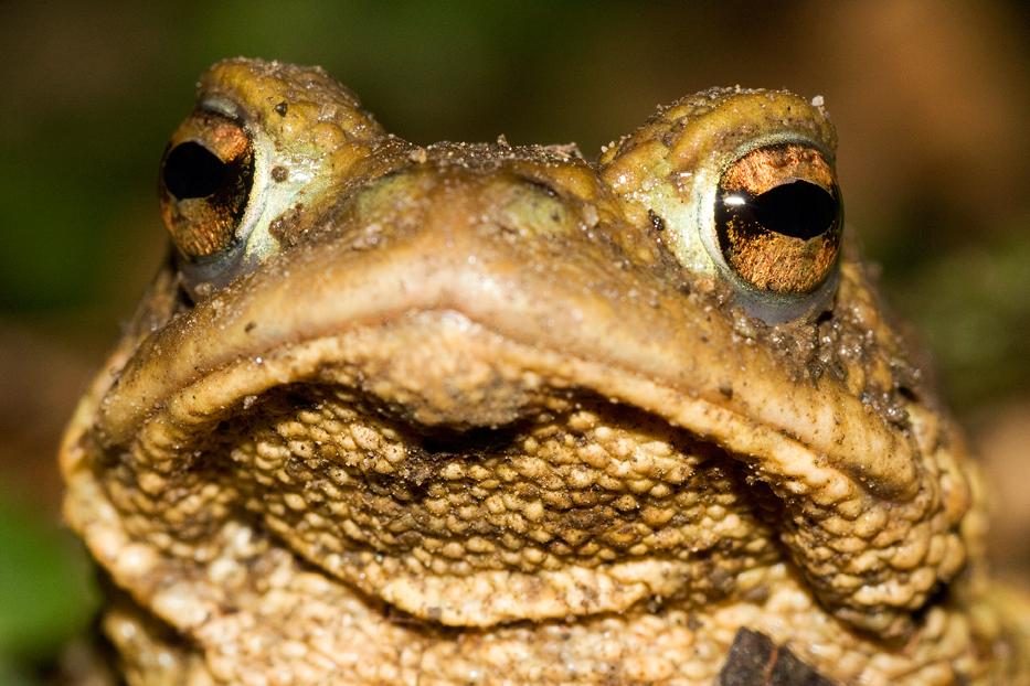 Krastača, Bufo bufo, žabe, vodozemci