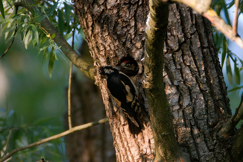 veliki djetlić, Dendrocopos major, ptice,