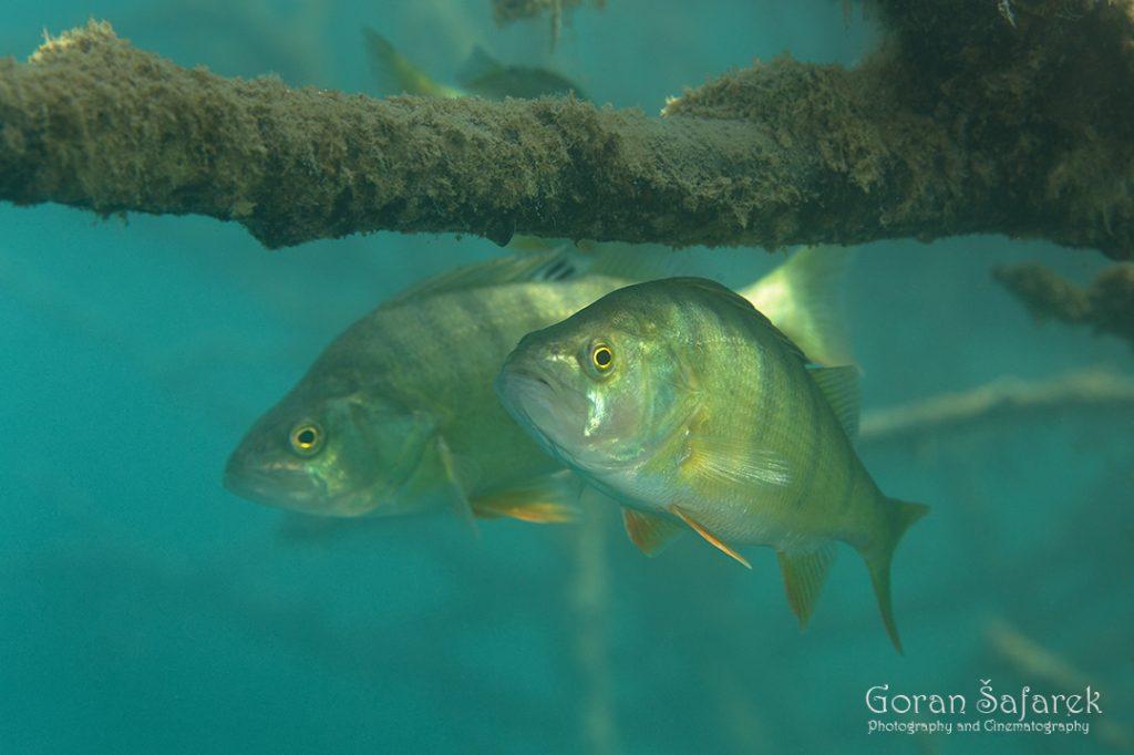 grgeč, Perca fluviatilis, riba, jezera