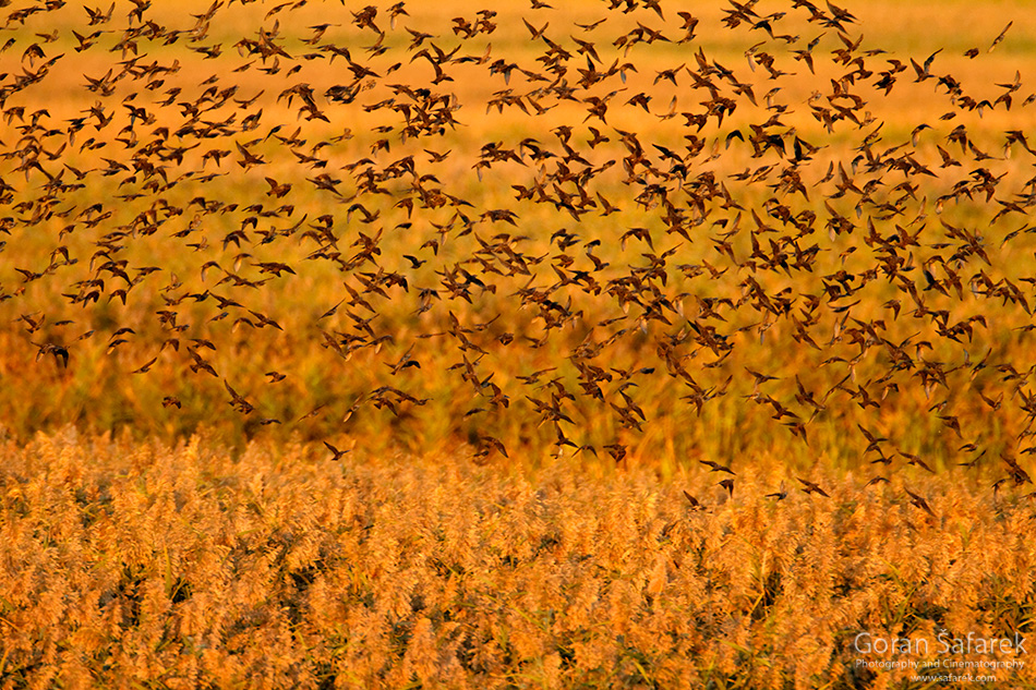 park prirode, vransko jezero, dalmacija, močvara, čvorak, migracija, ptice, ptica, selidbe
