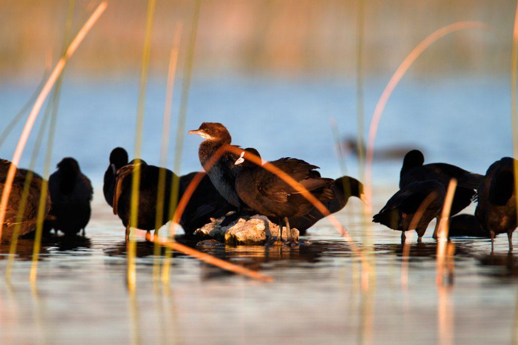 park prirode, vransko jezero, dalmacija, močvara, liska, mali vranac