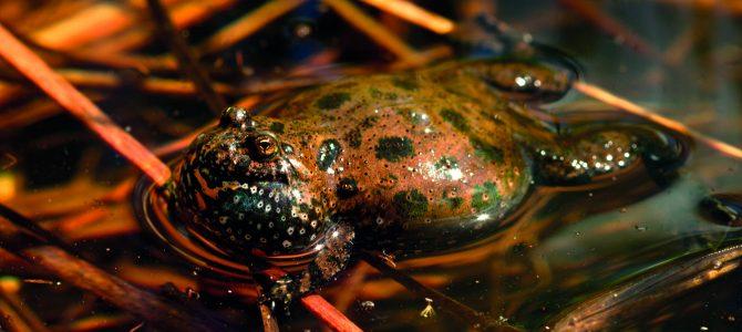 žaba mukač