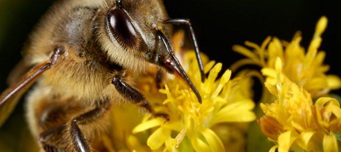 Pčela (Apis melifera)