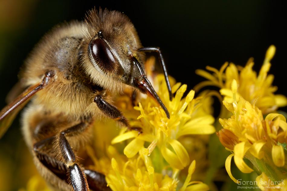 Pčela, Apis melifera, kukac, oprašivanje,