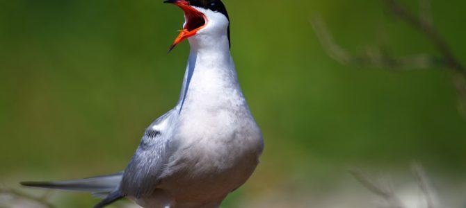 Crvenokljuna čigra