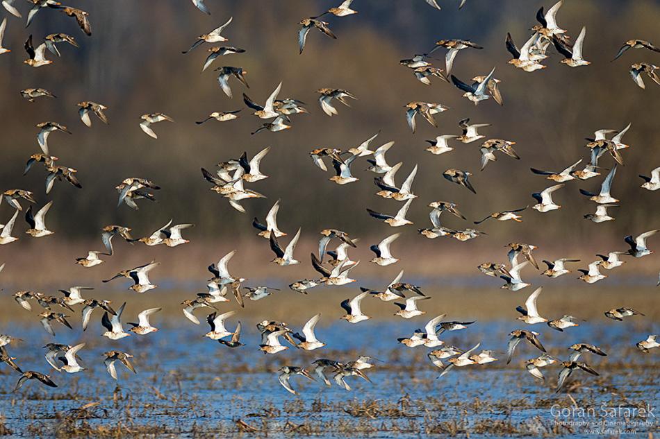 lonjsko polje, sava, poplava, popoalvno područje, ptice, migracija, selidbe