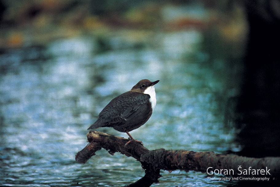 plitvička jezera, nacionalni park, ptice, vodenkos, cinclus