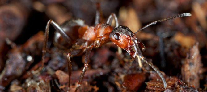 Šumski veliki crveni mrav