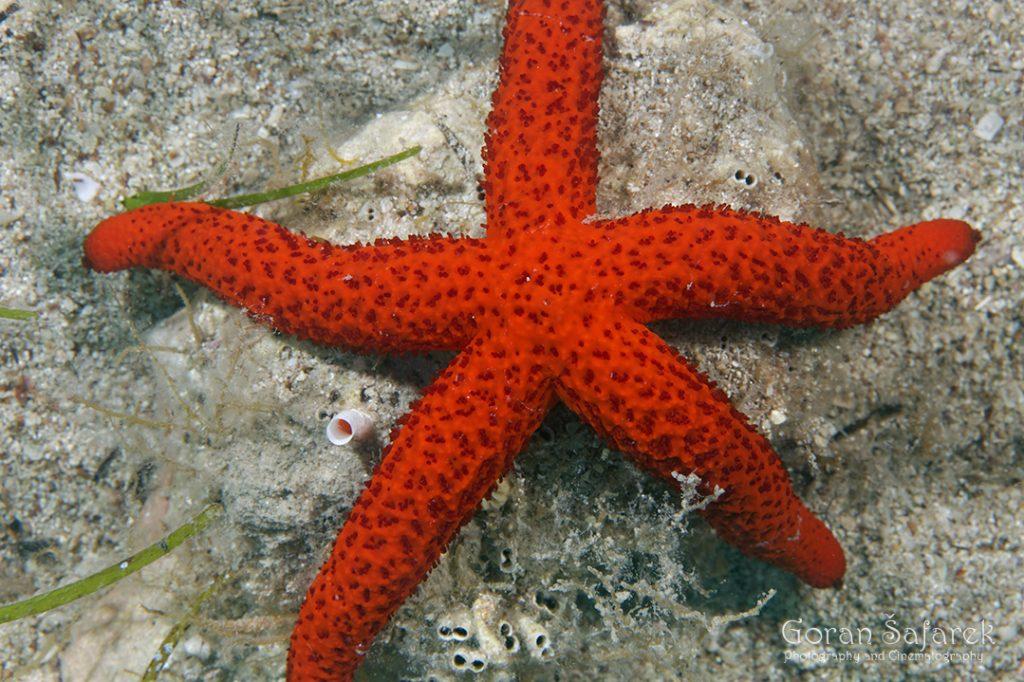 more, dno, bentos,morska zvijezda, zvijezdača