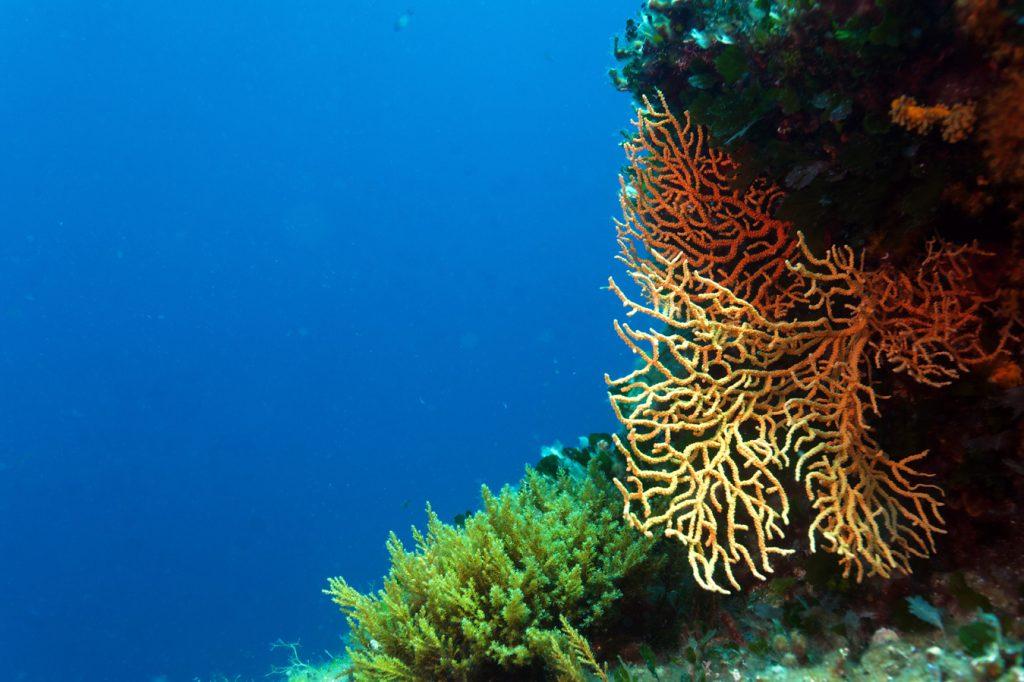 pag, otoci, dalmacija, zadar, Lun, podmorje, koralji, koraligen