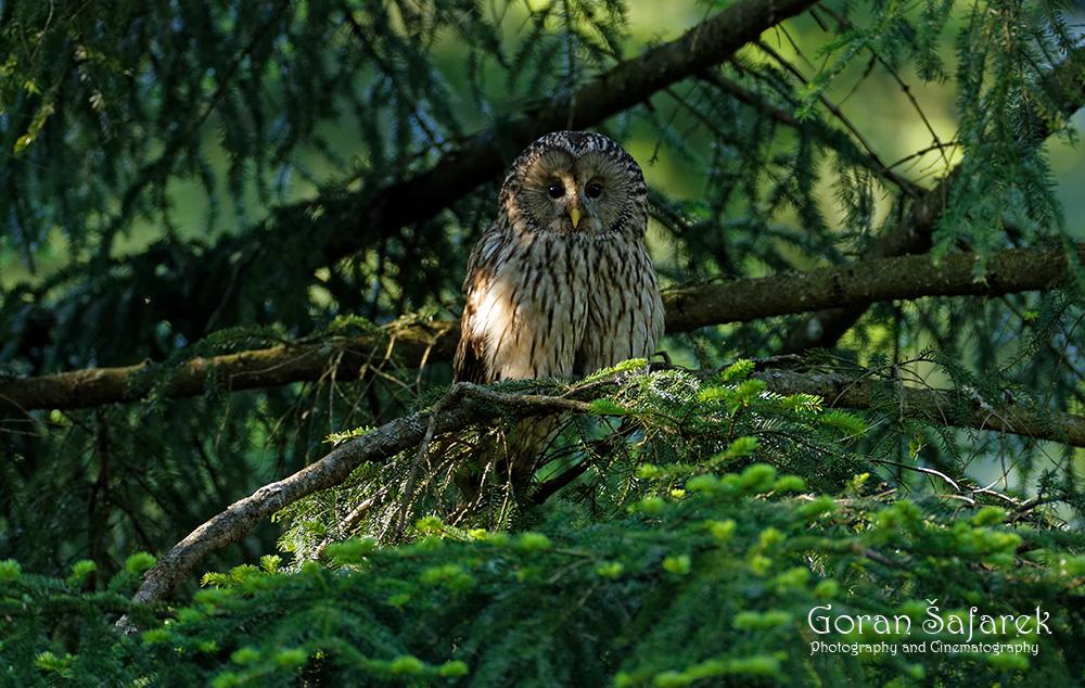 šuma, sova jastrebača, Strix uralensis, Gorski kotar, ptice