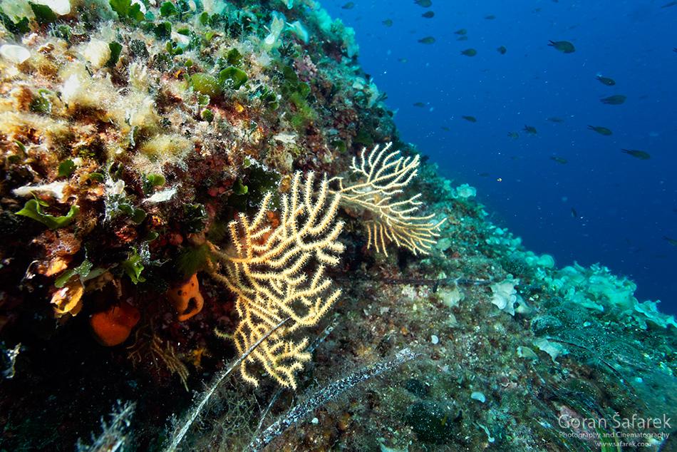 koraligen, koralji, park prirode, telašćica, Dugi otok, dalmacija, otoci, jadran, more, obala, podmorje,