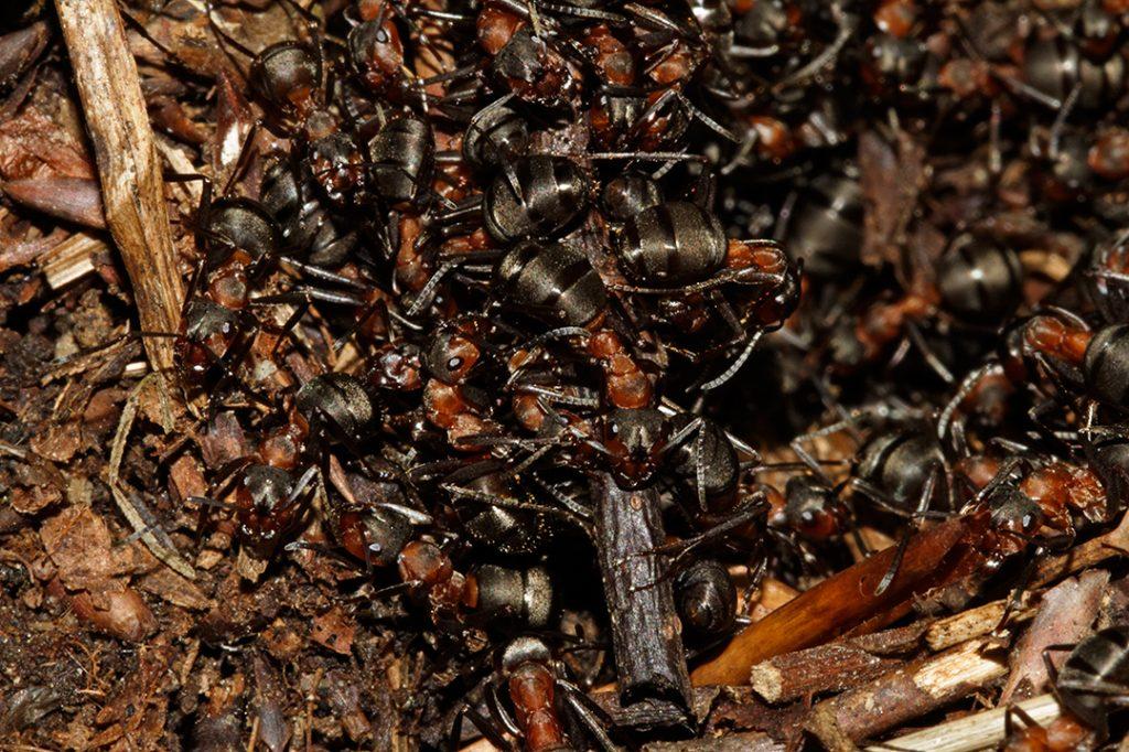 šumski veliki crveni mrav, Formica rufa, šuma, mravi, kukci