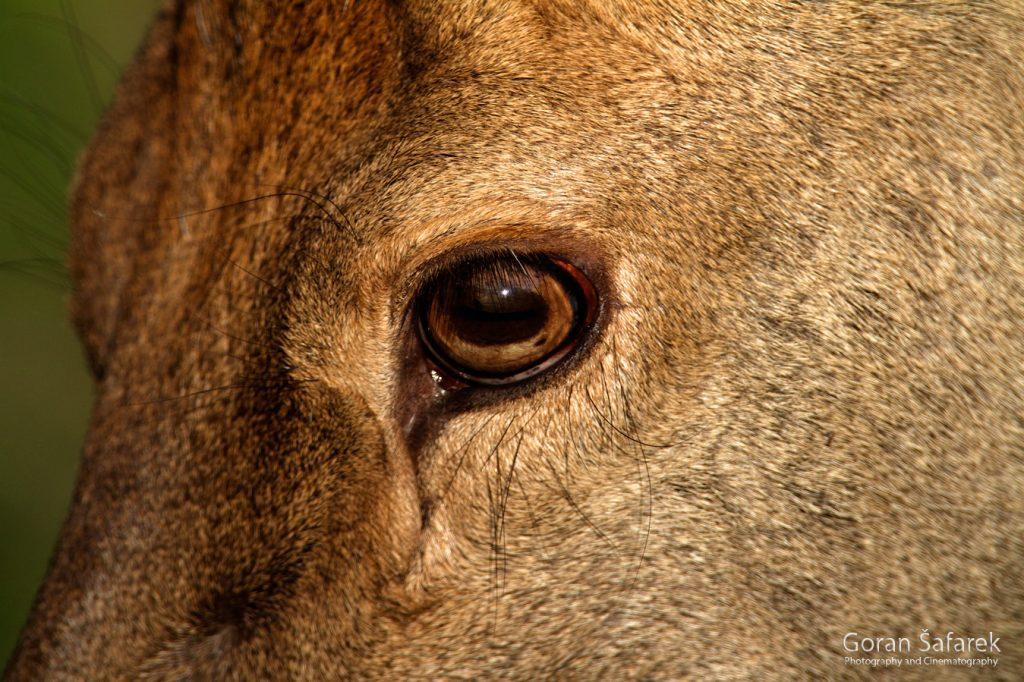 jelen, Cervus elaphus, rika, kopački rit