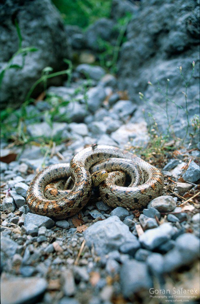 Crvenkrpica, zmije, nacionalni park, paklenica, velebit, potok, rijeka,kanjon,