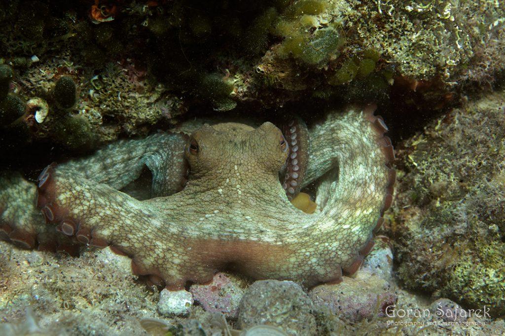 hobotnica, Octopus vulgaris, dno, more, jadransko more, bentos