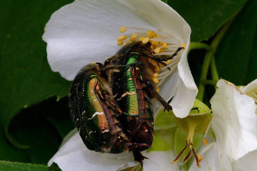 Cetonia aurata, zlatna mara, kukci, cvijet, oprašivanje