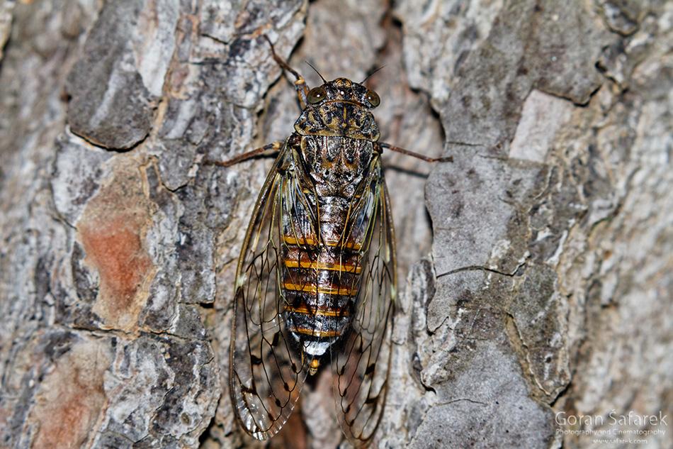 cvrčak, cikada,Lyristes plebejus, mediteran, bor, šuma, kukci