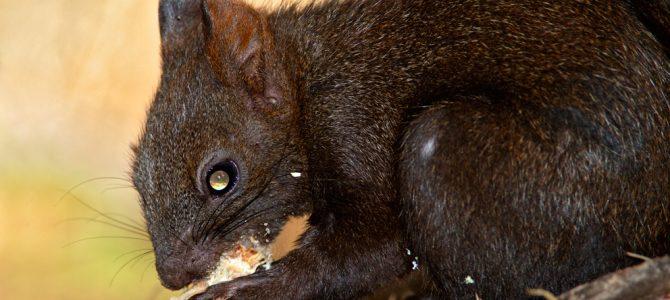 Vjeverica – ljupki stanar šuma i parkova