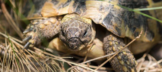 Kopnena kornjača – čančara