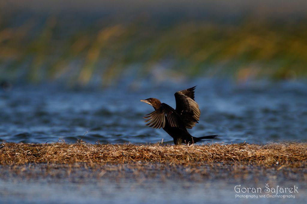 Mali vranac, Phalacrocorax pygmeus, vransko jezero, Microcarbo pygmeus
