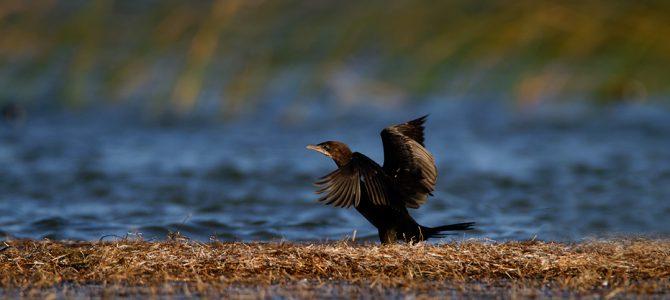 Mali vranac (Phalacrocorax pygmeus)