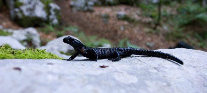 Crni daždevnjak (Salamandra atra atra)