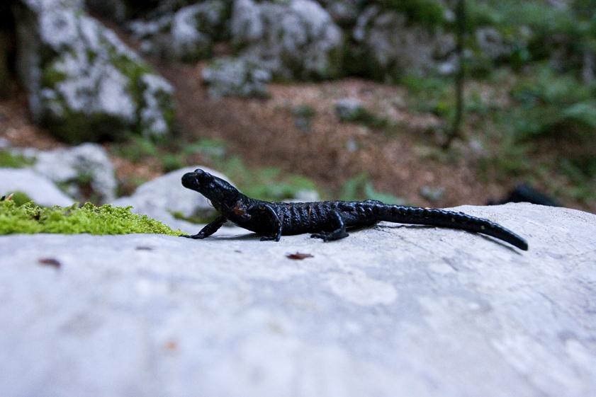 crni daždevnjak, Salamandra atra atra