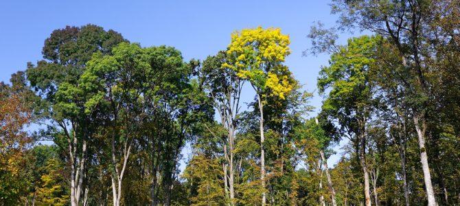 Hrast lužnjak – drveni div naših nizina