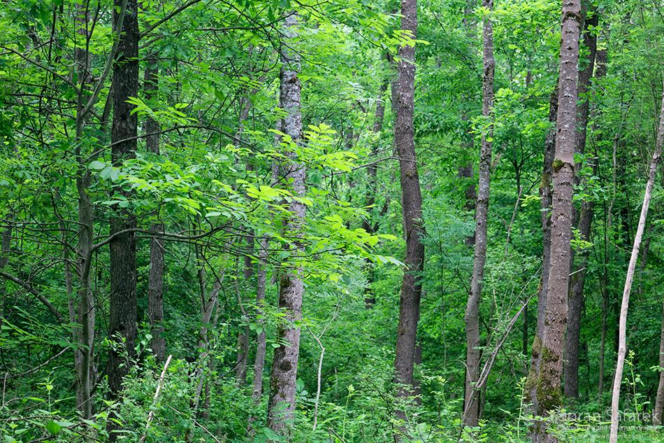 spačva, Bosut, šuma, hrast užnjak, virovi, močvara, poljski jasen