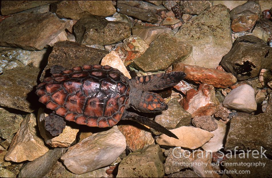 Glavata želva, Caretta caretta, telašćica