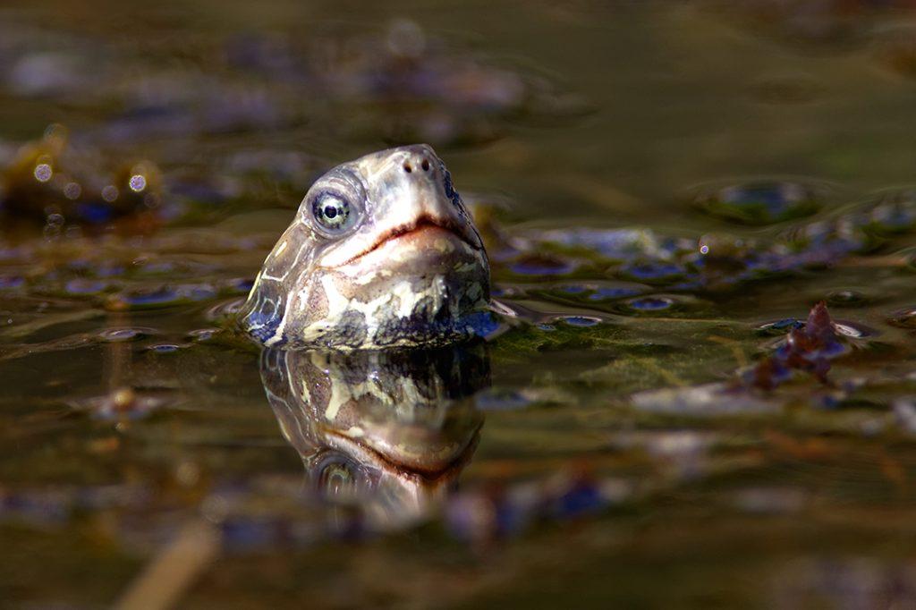 riječna kornjača, dubrovnik, krš, jadransko more, obala, jug, riječna kornjača, Mauremys rivulata, majkovi