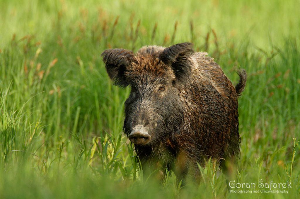 Divlja svinja, Sus scrofa