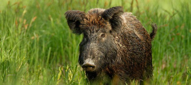 Divlja svinja (Sus scrofa)