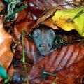 Šumski miš, Apodemus flavicollis