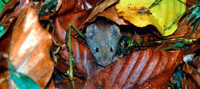 Šumski miš (Apodemus flavicollis)