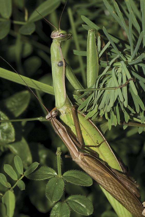 Bogomoljka, Mantis religiosa