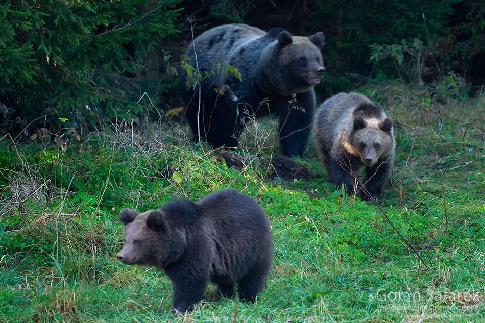 gorski kotar, šuma, planine, hrvatska, oblaci, priroda, medvjed