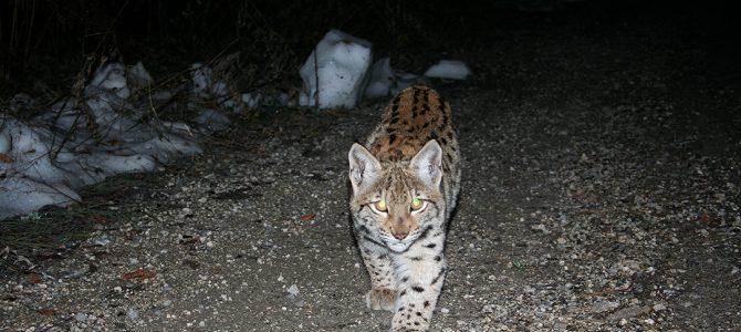 Euroazijski ris (Lynx lynx)