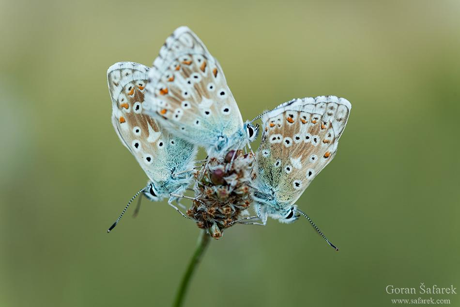 Leptiri,Lepidoptera, plavci