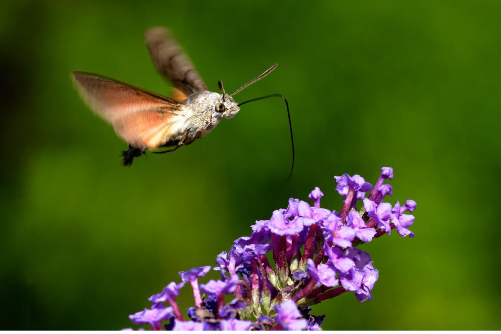 Leptiri,Lepidoptera, golubka