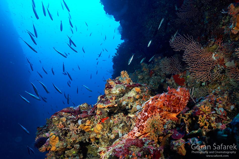 lastovo, dalmacija, otok, podmorje gorgonija,sušac, škarpina