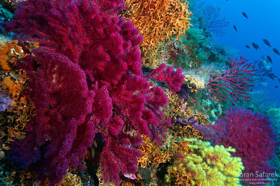 lastovo, dalmacija, otok, podmorje, gorgonija,sušac