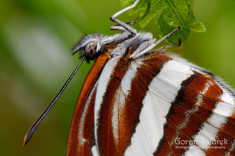 Leptiri,Lepidoptera